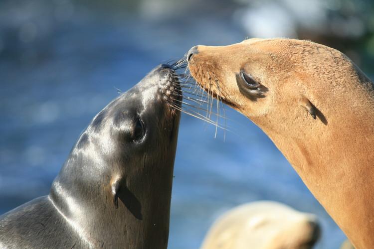 Морские котики целуются